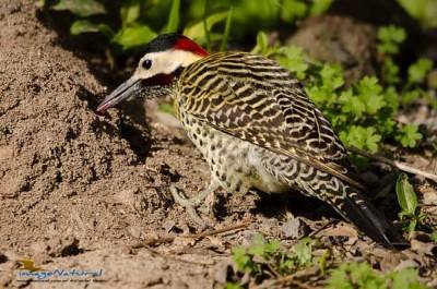 Carpitntero realM/Green-barred WoodpeckerM