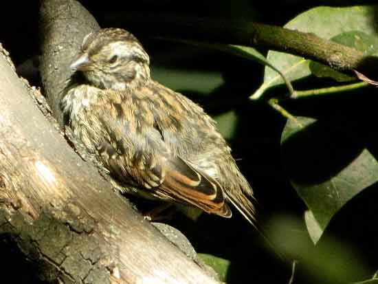 Chingolo/Rufous-collared Seedeater