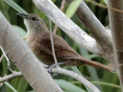 espinero-pecho-manchadoJ/Freckle-breasted ThornbirdJ