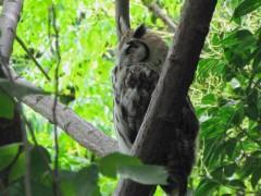 Lechuzón orejudo/Strpied Owl