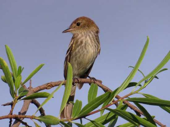 Mosqueta estriada/Bran-colored Flycatcher