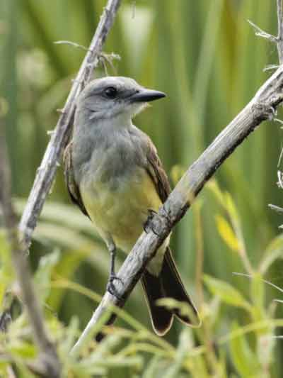 Suirirí rea/Tropical Kingbird