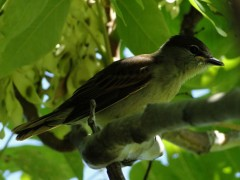 Anambé comúnJ/White-winged BecardJ