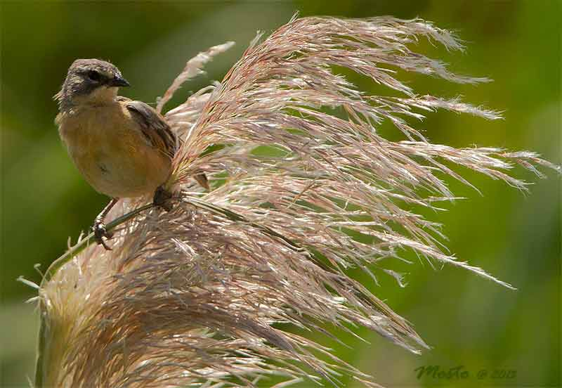 Cachilo canelaJ/Long-tailed Reed-FinchJ