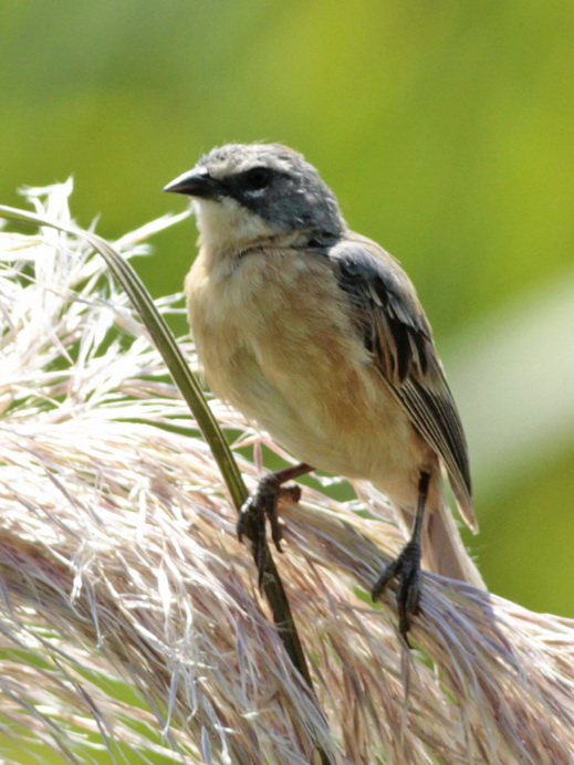 Cachilo canelaJ/Log-tailed Reed-FinchJ