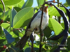 CardenillaJ/Yellow-billed CardinalJ