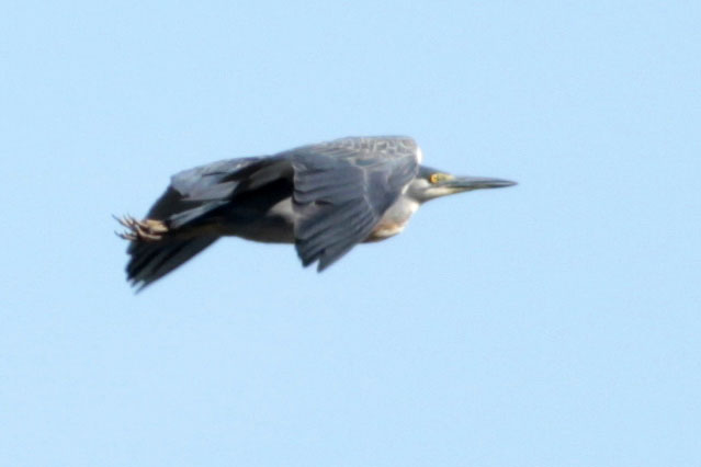 Garcita azulada/Striped Heron