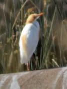 Garcita bueyera/Cattle Egret