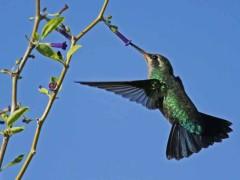 Picaflor comúnH/Glittering-bellied EmeraldF