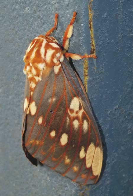 Polilla de la calavera/Citheronia