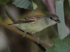 Anambé comúnH/White-winged BecardF