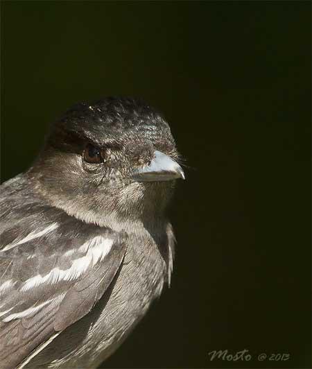Anambé comúnM/White-winged BecardM