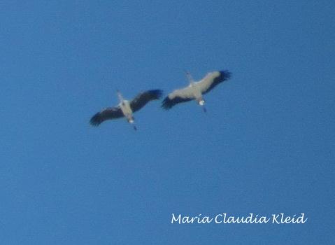 Cigüeña americanaB/Maguari StorkF