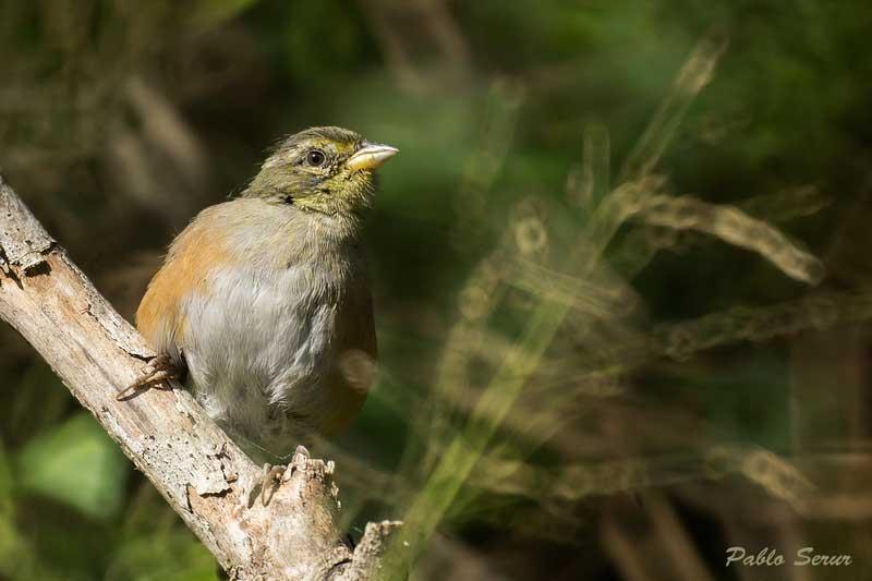 Monterita litoraleñaJ/Gray-throated Warbling-FinchJ