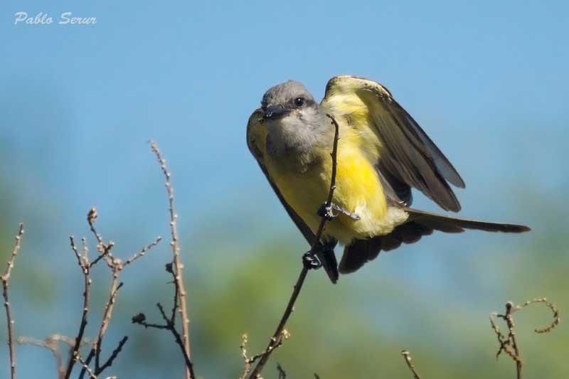 Suirirí real/Tropical Kingbird