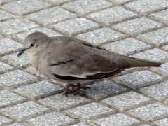 Torcacita común/Picui Ground-Dove