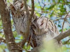 Alilicucu común/Tropical Screech-Owl