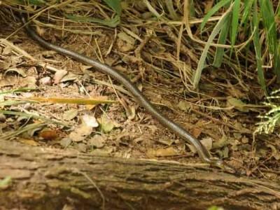 Culebra ratonera/Brown-mussurana