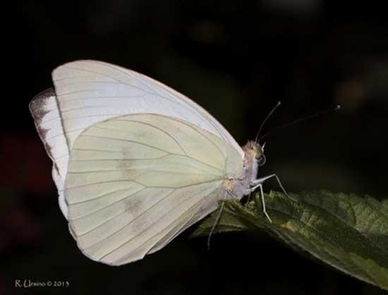 Pirpinto de la col/Great Southern White