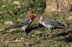 Cardenal comúnR/Red-crested CardinalB