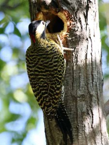Carpintero realMR/Green-barred WoodpeckerMB