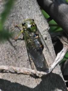 Chicharra/Dorisiana viridis