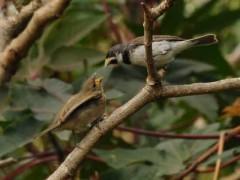 Corbatita comúnR/Double-collared SeedeaterB