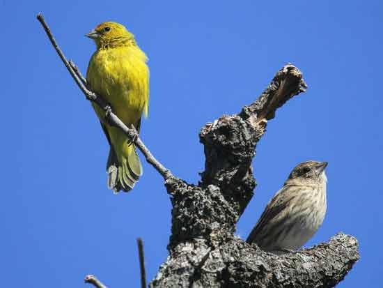 Jilguero doradoMH/Saffron YellowfinchMF