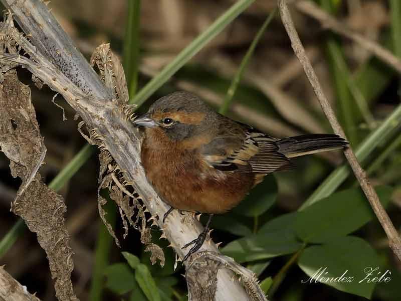 Monterita canela/Cinnamon Warbling-Finch