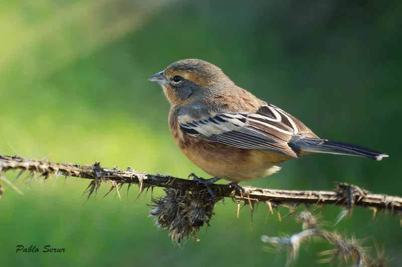 Monterita canela/ Cinnamon Warbling-Finch