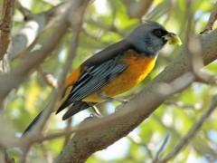 NaranjeroM/Blue-and-yellow TanagerM