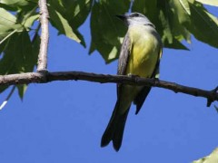 Surirí real/Tropical Kingbird