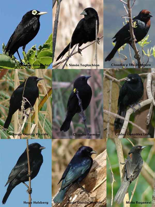 Aves negras/Black birds