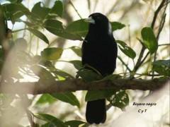 Boyero negro/Solitary Black Cacique