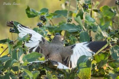 Calandria-real/White-banded Mockingbird