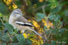Calandria-real/White-banded Mockingbird
