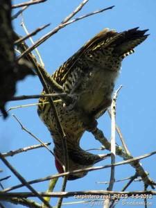 Carpintero real/Green-barred Woodpecker
