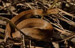 Culebra ojo de gato/Thamnodynastes hypoconia