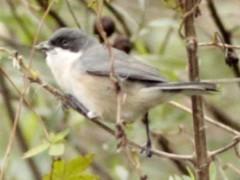 Monterita cabeza negraH/Black-capped Warbling-FinchF