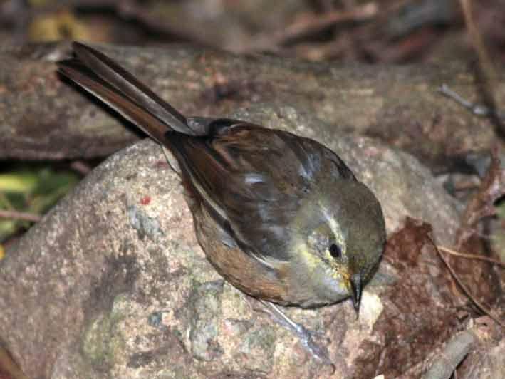 Monterita litoraleña/Red-rumped Warbling-Finch