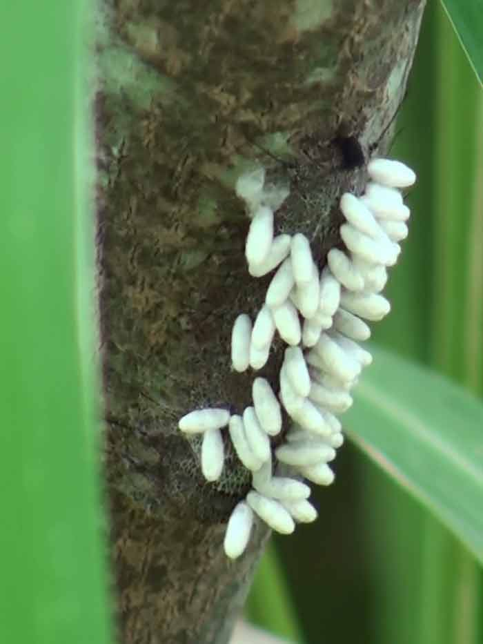 Oruga parasitada/Parasitized caterpillar