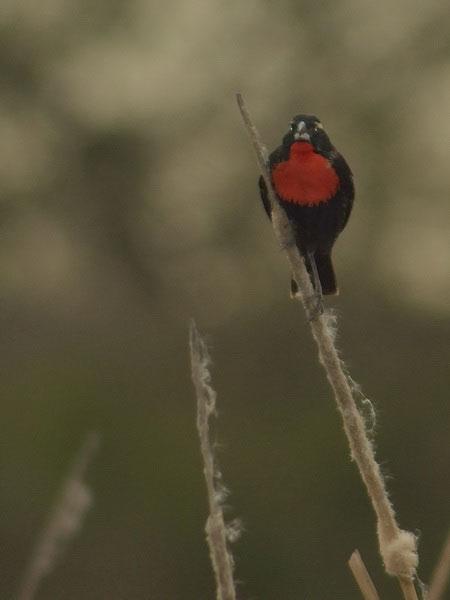Pecho colorado/White-browed Blackbird