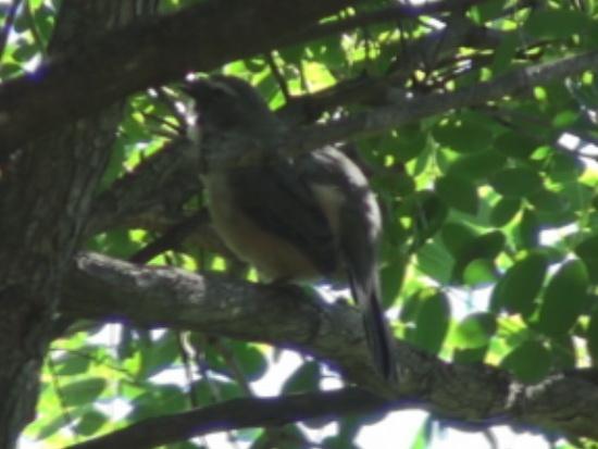 Pepitero gris/Grayish Saltator