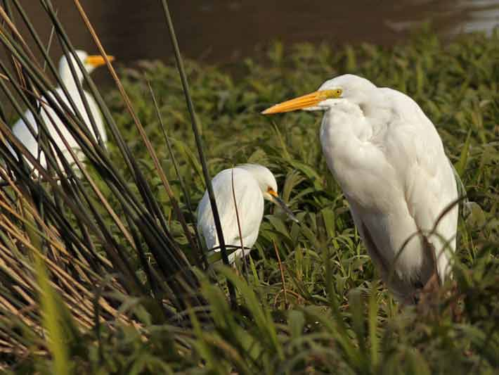 Garza y garcita blanca/Great and Snowy Egrets