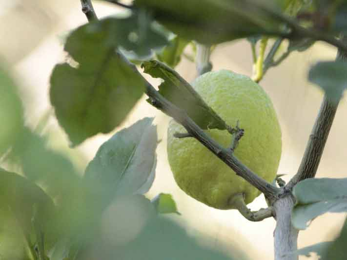 Limonero/Lemon tree