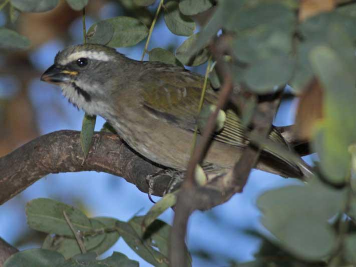 Pepitero verdosoJ/Green-winged SatlatorJ