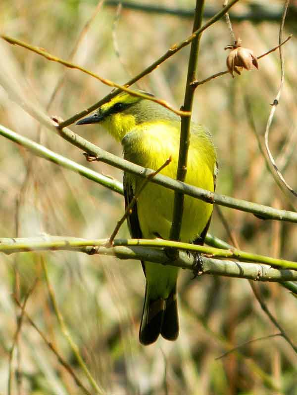 Suirií amarillo/Yellowbrowed Tyrant