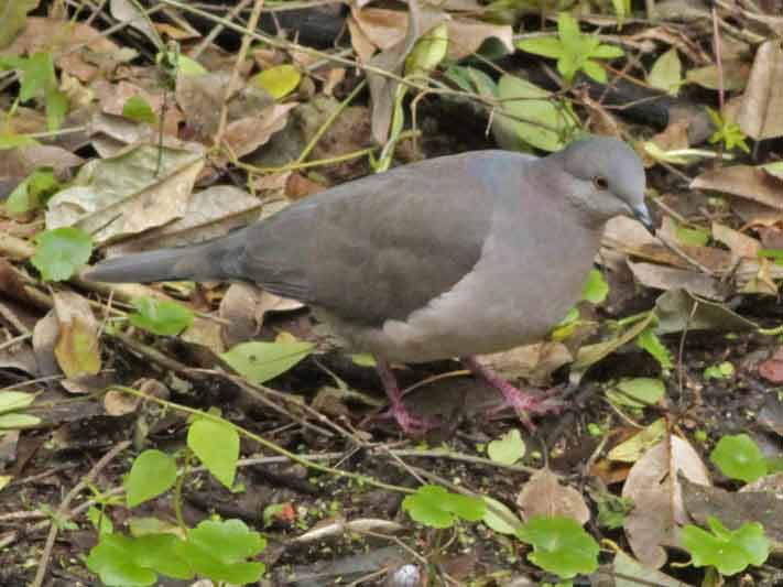 Yerutí común/White-tipped Dove