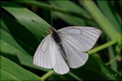 Lechera riberreña/False Common White