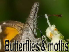 butterflies and mothes